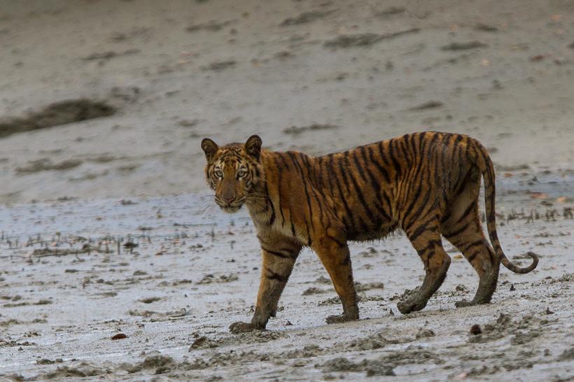 Power of a Sundarban Tiger – Indian Sundarban